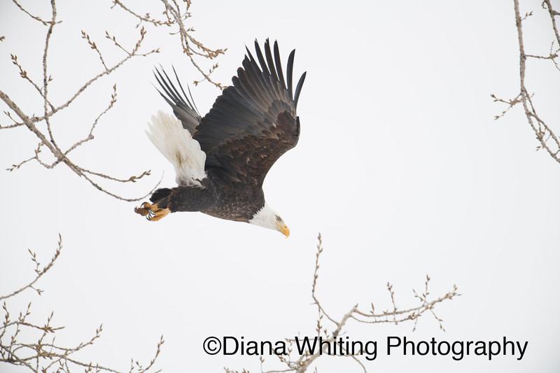 03_02_2019bald eagles_923 copy.jpg