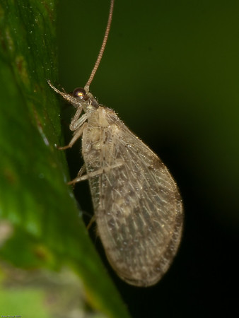 Brown Lacewing (Wesmaelius sp)