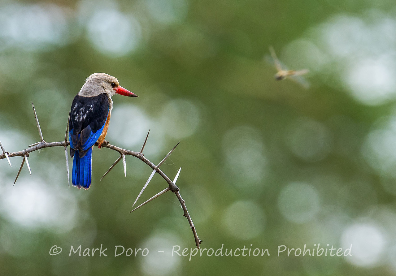 Grey-headed Kingfisher and dragonfly, Lake Manyara, Tanzania