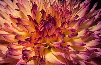 Dahlias and Chrysanthemums
