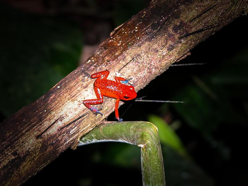 123 Poison Dart Frog 2.jpg