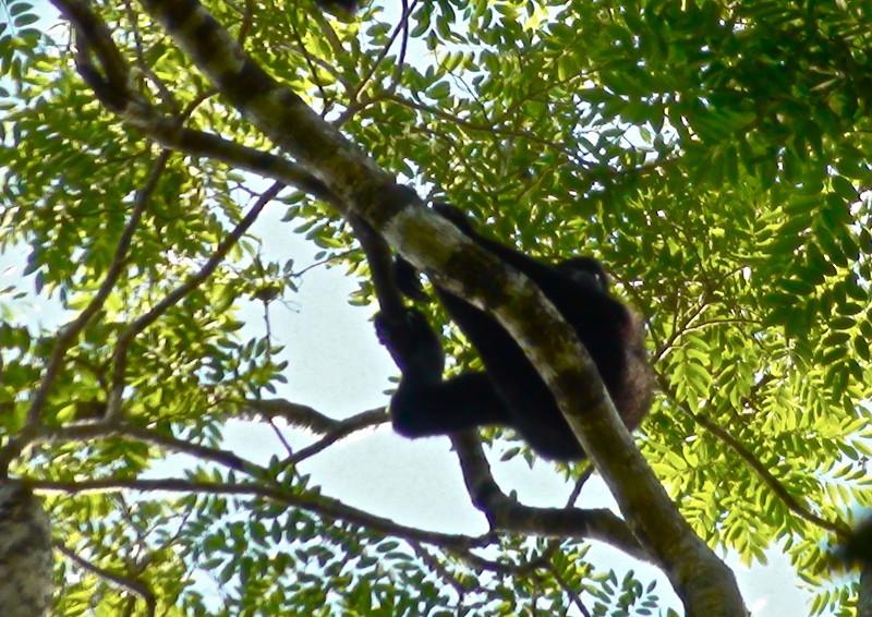 Gibbon, Cat Tien National Park