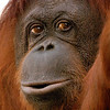 Duchess celebrated her 50th birthday at the Phoenix Zoo on March 27, 2010.  She is the oldest Bornean orangutan in North America.