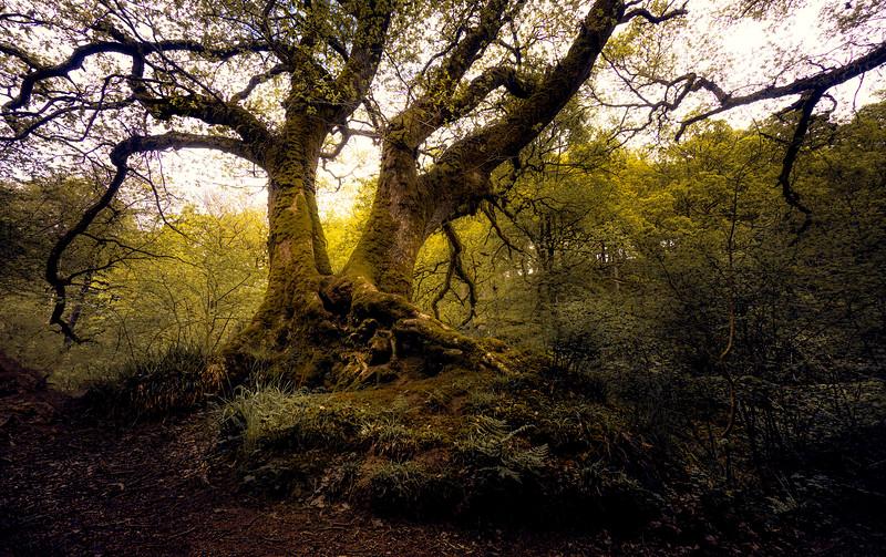 Big Oak tree on the path to Hareshaw Linn waterfall.