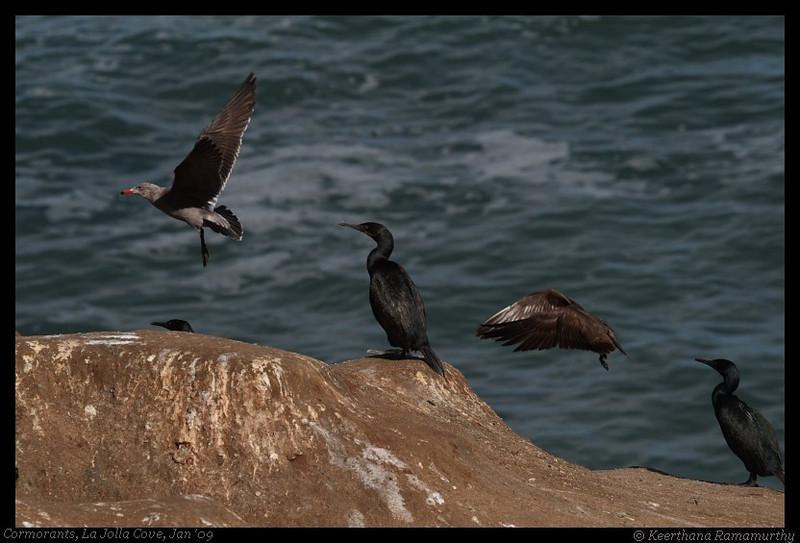 Brandt's Cormorant & Heermann's Gulls, La Jolla Cove, San Diego County, California, February 2009