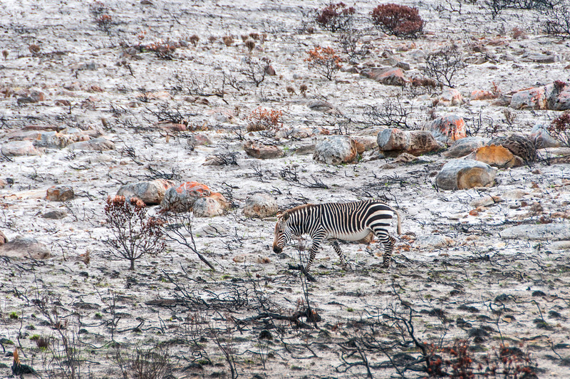 Zebra in Cape Town, South Africa
