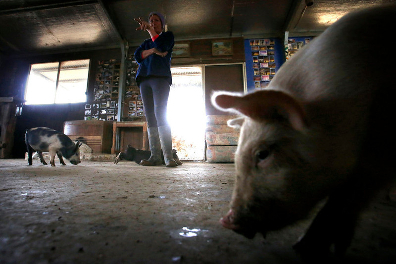. Farmer Lindy Haynes reacts as some of the more than 25 pigs she lives with in her home eats food off the floor on her property known as \'Pigsville\' in the New South Wales town of Mudgee, located 250 km (155 miles) west of Sydney March 2, 2013. Haynes believes that all farm animals should be \'free range\', and allows the pigs, chickens, cats and dogs on her farm to move freely in and out of her house, with most sleeping inside at night. Picture taken March 2, 2013.    REUTERS/David Gray