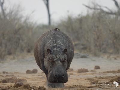Dry Hippo