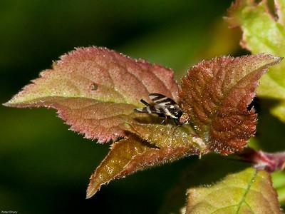 Seedhead gall fly (Urophora quadrifasciata)