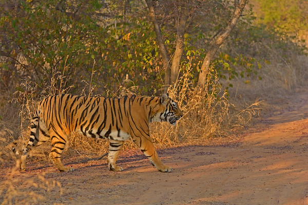 Ranthambore tiger in winters