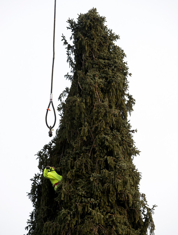 . A worker prepares a 94-foot Norway spruce that will serve as the Christmas tree at Rockefeller Center before it is cut on Thursday, Nov. 10, 2016, in Oneonta, N.Y. The spruce is due to arrive Saturday in Manhattan, about 140 miles away. (AP Photo/Mike Groll)