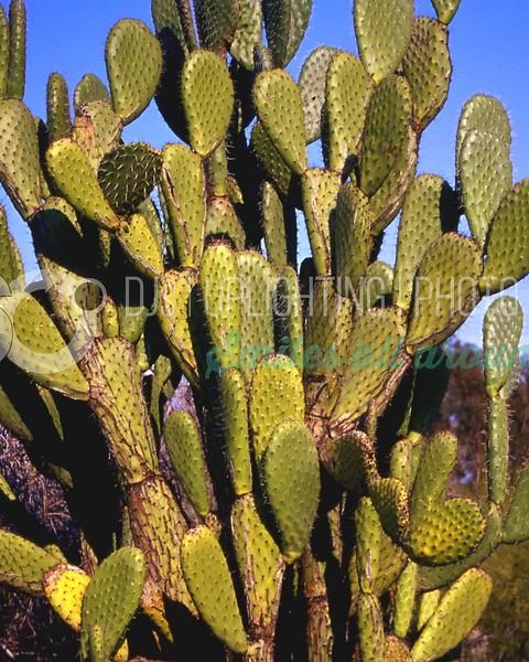 Prickly Pear_batch_batch.jpg