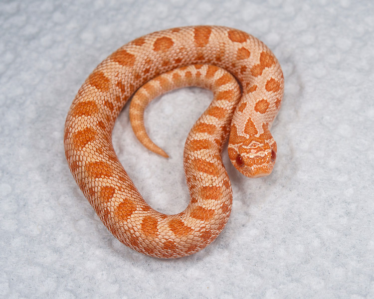 Albino Anaconda Hognose (HG01), Male, 8 grams, Sold, Bruce T.