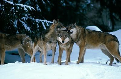 wölfe im schnee 4.tif