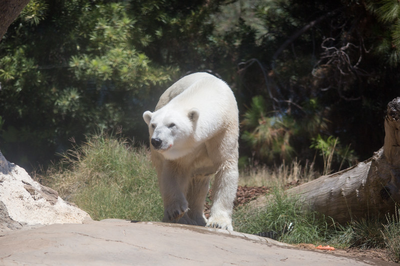 polar bear (40 of 50).jpg