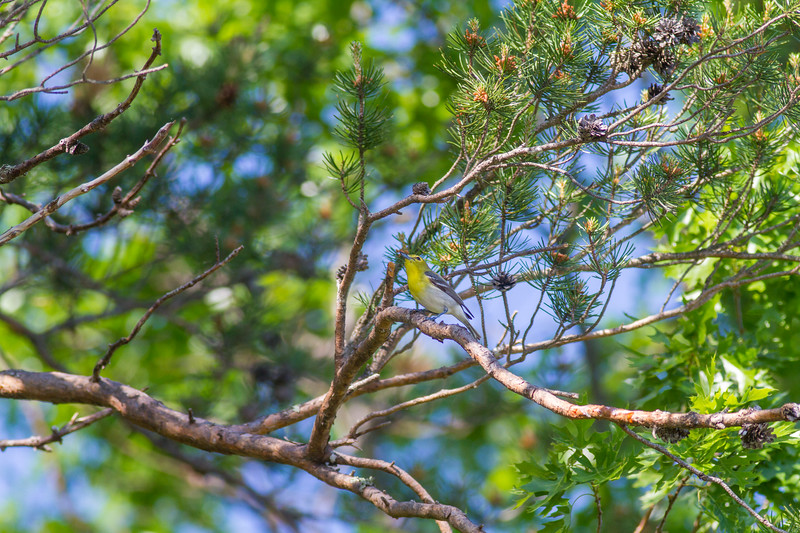Yellow-throated Vireo Crex Meadows Grantsburg WI IMG_0333.jpg