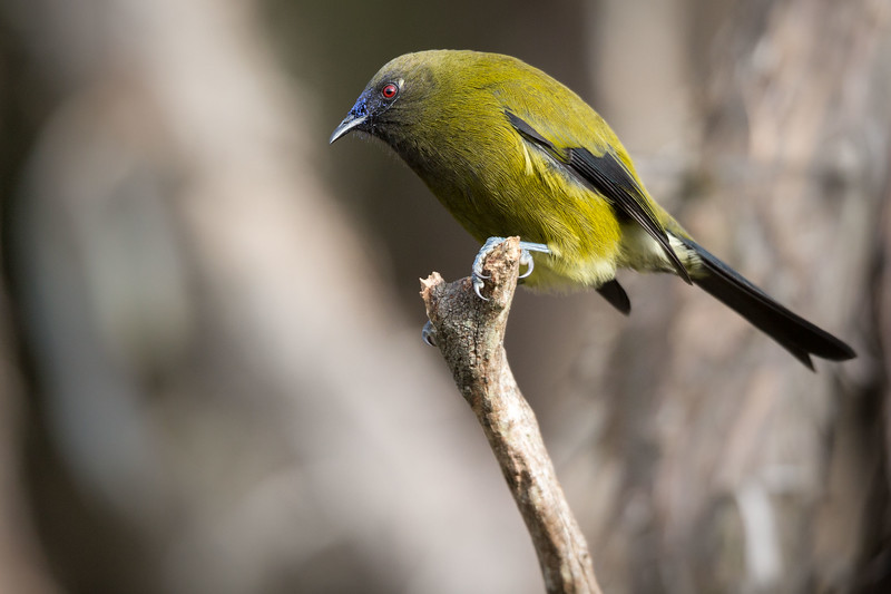 Female Bellbird at Orokonui Ecosanctuary