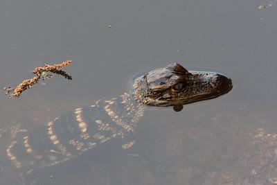 untitled20110202_AlligatorBaby MyakkaLakeFL_7I2B4345_11-02-02