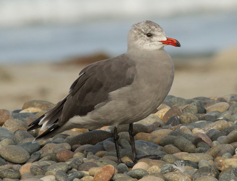 Heermann`s Gull Cardiff Beach 2012 09 10-1.CR2