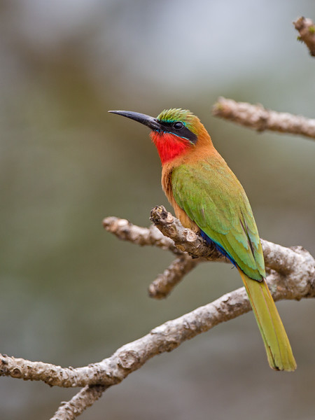 red-throated bee-eater bank of Nile Murchison.jpg