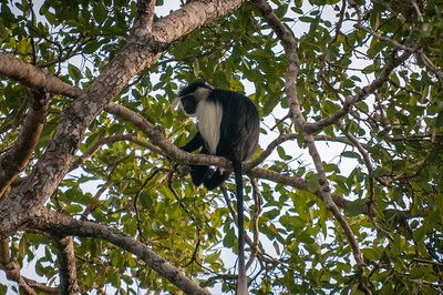 Colobus, Angolan Black-and-white (spp. palliatus)