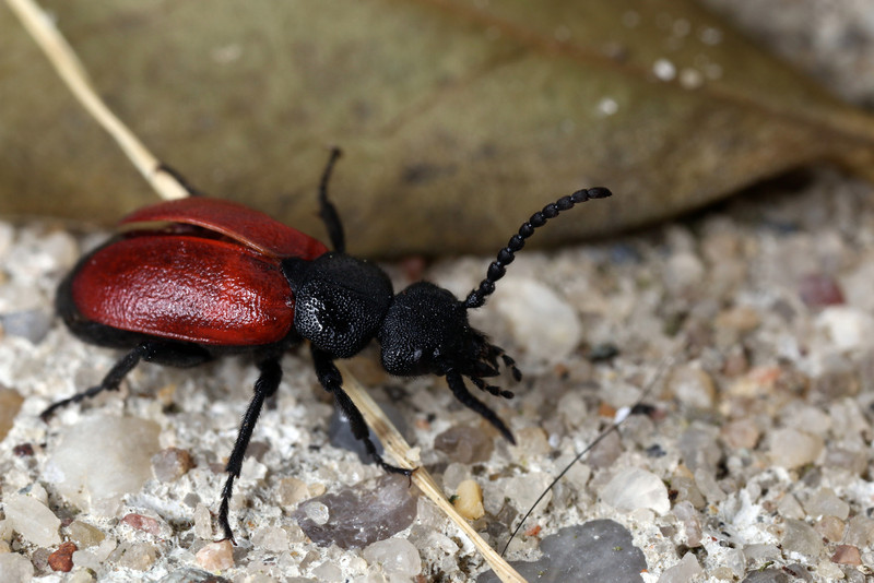 A beetle wandered around my backyard.