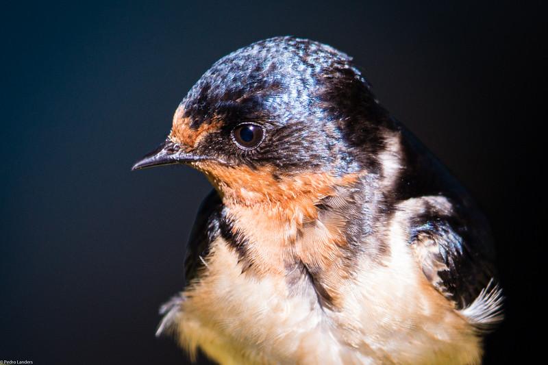 Barn Swallow Detail.jpg