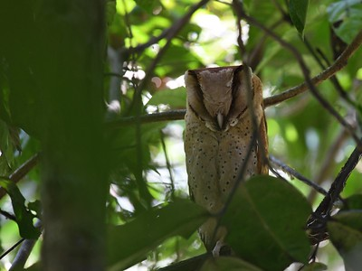 Sri Lanka Bay-Owl (Phodilus assimilis)