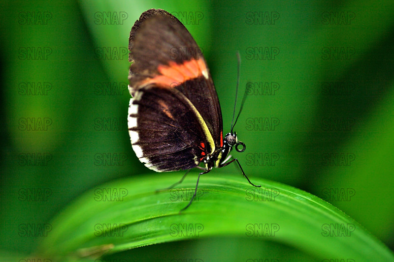 Red Postman; Small Postman; Red Passion Flower Butterfly; Crimson-patched Longwing (Heliconius sp.).