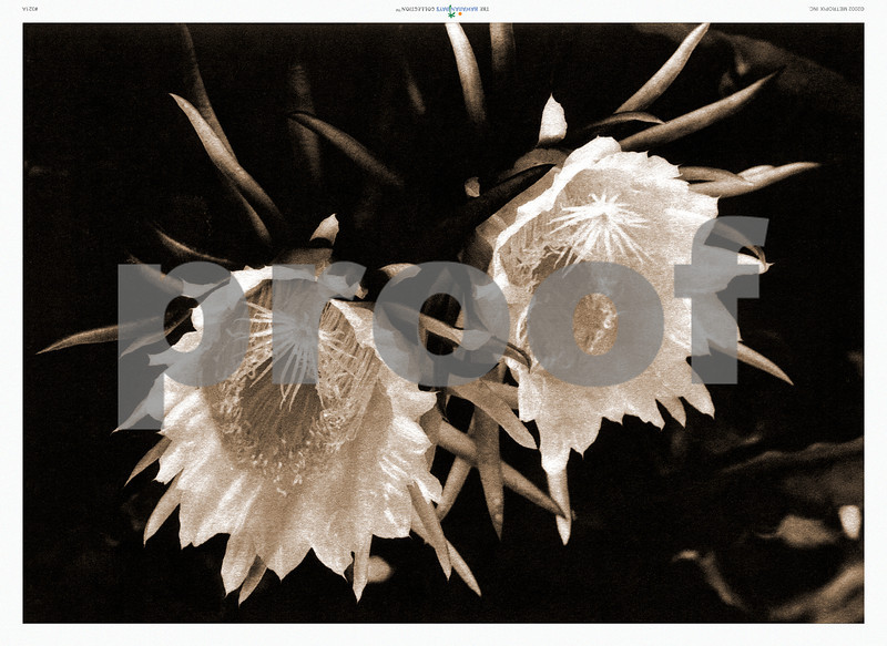 321: 'Night-blooming Cereus' From a sepia-toned photograph. Ca. 1926. (PROOF watermark will not appear on your print)