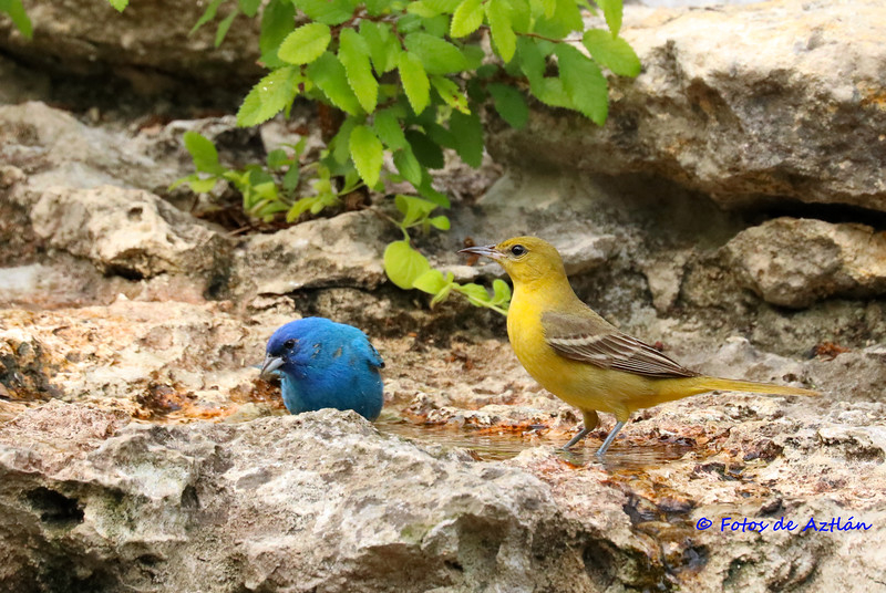 Indigo and Tanager IMG_9634.jpg