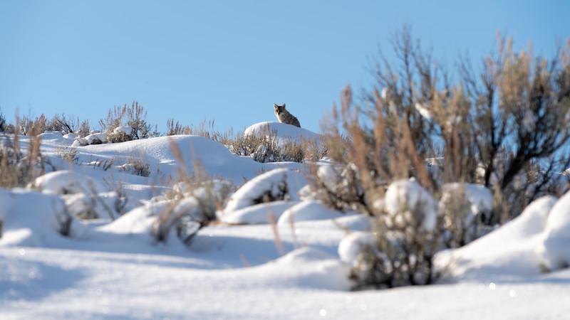 _AR70894 Coyotescape.jpg