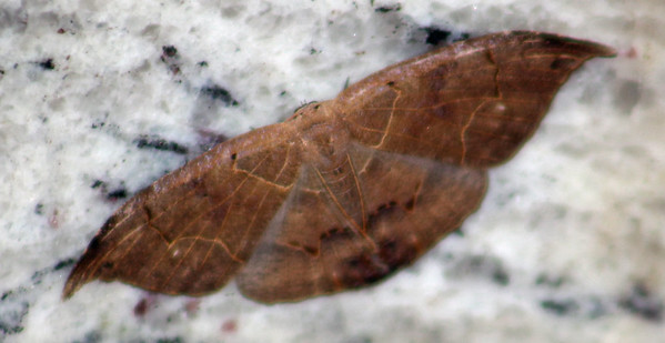 Dead Leaf or Lonomia Moth
