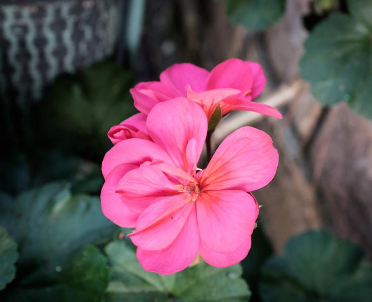 Flower Fuji test DSCF0026-00261.jpg