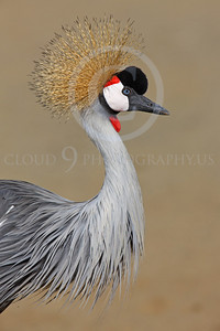 African Black Crowned Crane Wildlife Photography