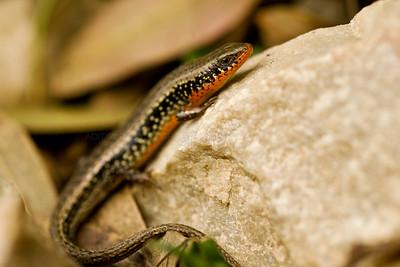 Jerdon's Snake-Eye (Ophisops jerdonii) in Ranthambhore