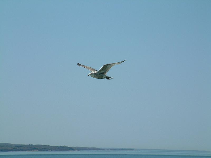 Martha's Vineyard - Seagull.jpg