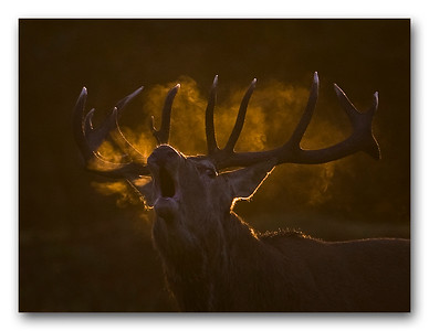 A Red Deer stag roaring during the annual rut