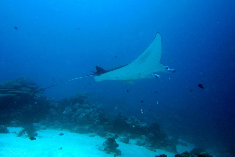 Manta Ray 3 - Palau