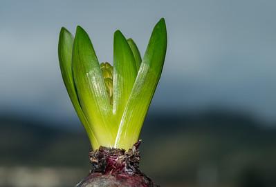 Life of Hyacinth