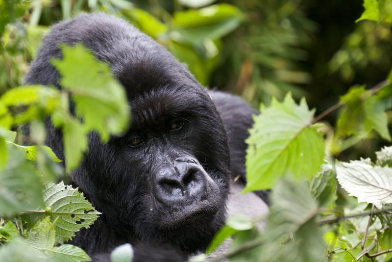 Gorillas  8412.jpg
