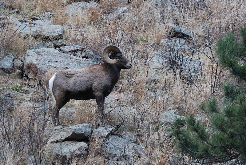 Bighorn Sheep 12062008 132.jpg