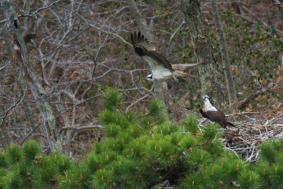 Connecticut Osprey Nation