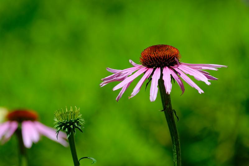 Cone Flower.jpg