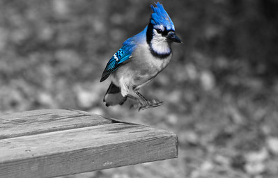 Blue Jay  Selective Colour  Taken October 9, 2011 Elk Island Retreat Near Fort Saskatchewan, Alberta