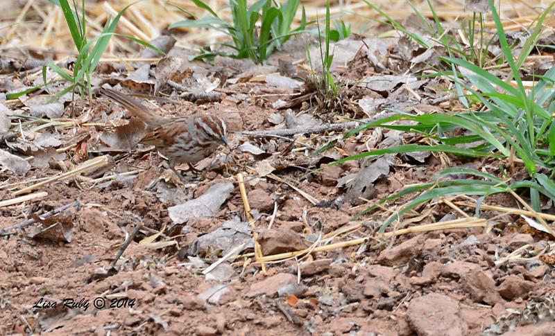 Desert Song Sparrow -  4/19/2014 - San Pedro Riparian Conservation Area, Sierra Vista, Az
