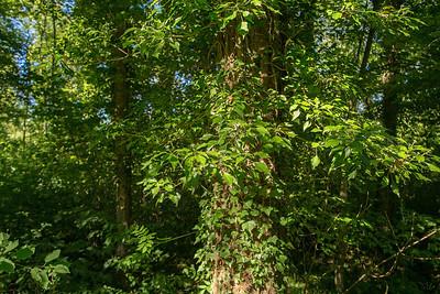 Araliacées