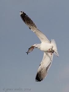 Great Black-backed Gulls