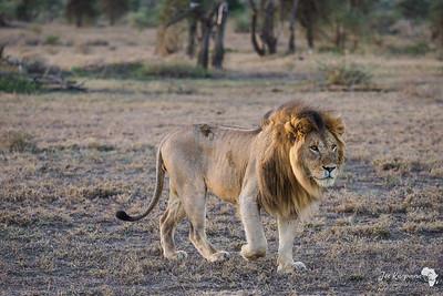 Mature Lion