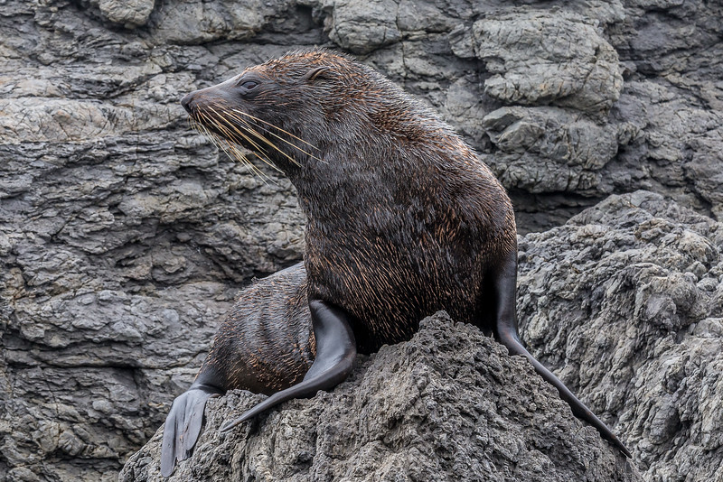Kolonie neuseeländischer Seebären am «Cape Palliser»